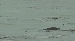 Sea Otter Lone Sleeping Winter Floating Kelp Bed - stock footage