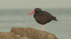 Black Oystercatcher Lone Winter Stock Footage