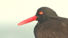 Black Oystercatcher Lone Winter Closeup Stock Footage