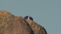California Condor Adult Pair Winter - stock footage