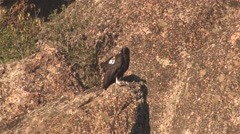Stock Video Footage of California Condor Immature Lone Resting Winter Wing Tag