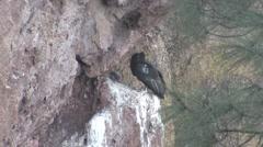California Condor Immature Pair Fighting Winter Ledge - stock footage