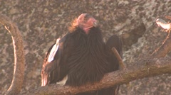 Stock Video Footage of California Condor Adult Lone Resting Winter Branch