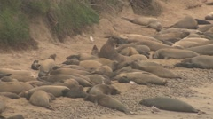 Elephant Seal Bull Cow Adult Young Many Dusting Winter Tossing Sand Beach Stock Footage