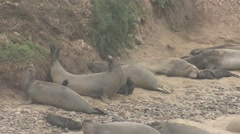 Elephant Seal Cow Adult Young Many Aggressive Winter Pup - stock footage
