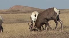 Bighorn Sheep Ram Ewe Adult Smelling Winter Lip Curl - stock footage