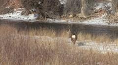 Mule Deer Buck Adult Lone Winter River - stock footage