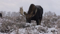 Moose Bull Adult Several Feeding Winter Snow - stock footage