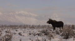 Moose Cow Lone Walking Winter Run Tracking Stock Footage
