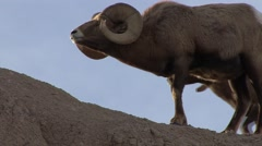 Bighorn Sheep Ram Adult Pair Fighting Winter Head Butt Horns Collision Collide Stock Footage