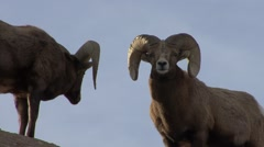 Stock Video Footage of Bighorn Sheep Ram Adult Pair Winter Hooked Horns Full Curl