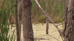 4K UHD 60fps - Wood Duck (Aix sponsa) swimming ahead in marsh with brush Stock Footage