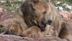Closeup of Grizzly aka Brown Bear Face in 4K Stock Footage