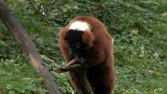 Lemur, red ruffed lemur, Madagascar, 4K, UHD Stock Footage