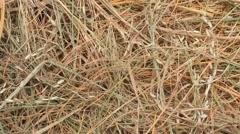 Dry rice straw Stock Footage