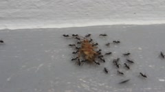 Ants carry the bait Stock Footage