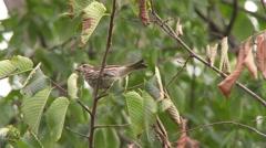 4K UHD 60fps - Savannah Sparrow (Passerculus sandwichensis) Stock Footage