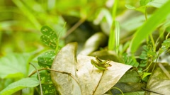 Pair of grasshoppers in the tropical woods Stock Footage