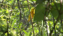 4K UHD 60fps - American yellow warbler (Setophaga petechia) Stock Footage