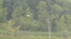 4K UHD 60fps - Common Tern (Sterna hirundo) diving Stock Footage