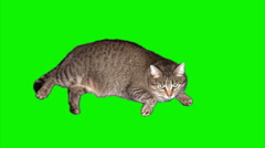 Fattened cat lying and watching Stock Footage