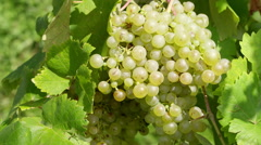 Bunch of grapes 2 Stock Footage