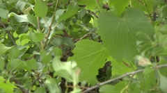 4K UHD 60fps - Cedar Waxwing (Bombycilla cedrorum) adult leaving its nest Stock Footage