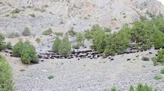 Sheep distilled in the valley. Pamir, Tajikistan - stock footage