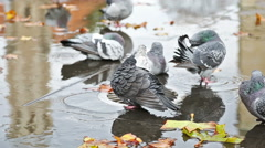 Grey doves near fountain, townhall reflection and autumn leaves Stock Footage