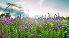 Fireweed  at sunset Stock Footage