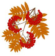 branch with autumn leaves and berries of wild ash - stock illustration