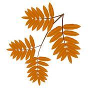 autumn leaves of wild ash - stock illustration