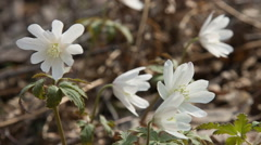 Siberian primroses - anemone (anemone nemorosa). Stock Footage