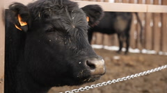 cow on the farm - stock footage