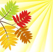background for a design with the autumn leaves of wild ash - stock illustration