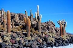 The cacti on the Isla Incahuasi Stock Photos