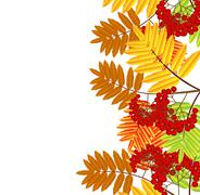 Stock Illustration of branch with autumn leaves and berries of wild ash