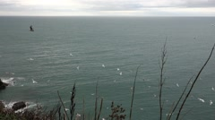 Many seagulls flying over water, filmed from a high cliff, grass in foreground Stock Footage