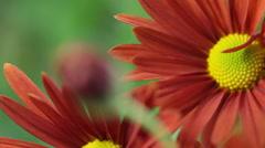 Flower Bud. Rack Focus - stock footage