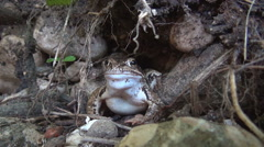 Close up of a curious frog in its natural habitat. Stock Footage