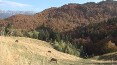 Cows feeding  on a pasture on a hillside in the middle of mountains. Stock Footage