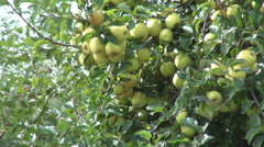 Many beautiful ripe yellow apples in a tree from an apples orchard. Stock Footage