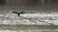 Funny Cormorant Bird Drying Wings Stock Footage
