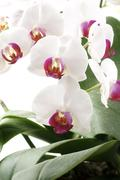 moth orchids - stock photo