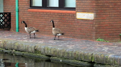 Canadian Gooses walk on the canal towpath Stock Footage