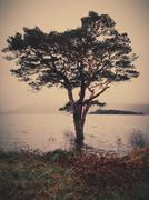 Ireland, County Kerry Ireland, Killarney, Munster, Tree at lake in Killarney - stock photo