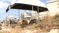 Male goats fighting in a beduin camp of the Gaza Strip Stock Footage
