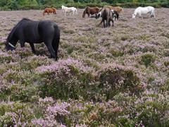 New forest ponies grazing, Hampshire, England, UK Kuvituskuvat