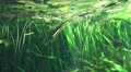 4k Underwater scene with lotus plants and tropic fishes Footage