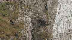 Male chamois jumping on the rocks. Stock Footage
